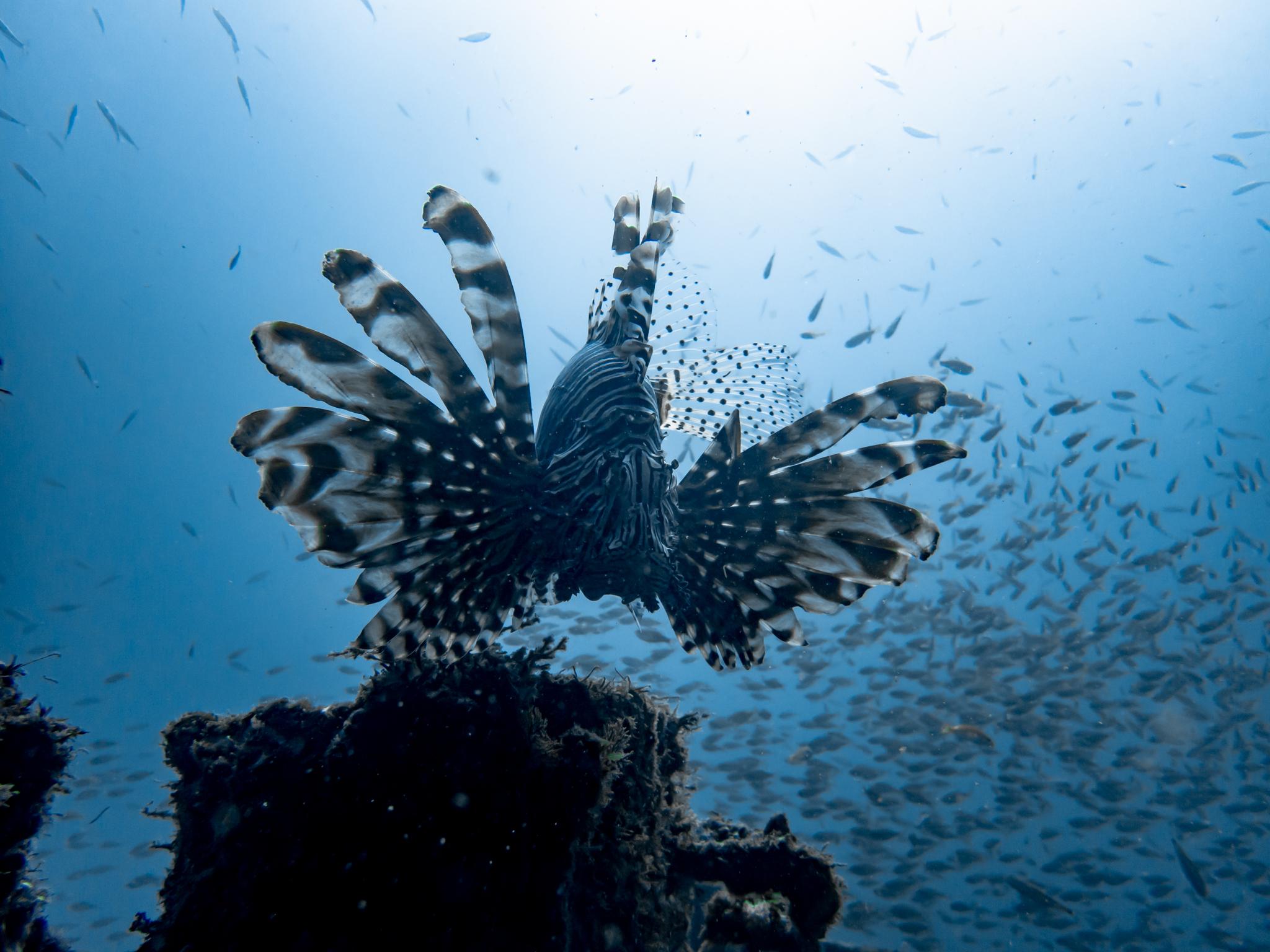 ハナミノカサゴ,沈船ダイビング